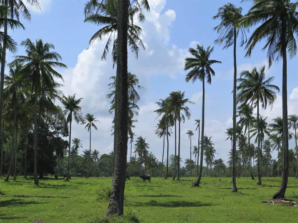 coconut palms natai beach